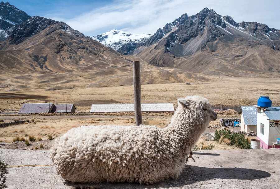Alpaca Sitting in the Peruvian Andes
