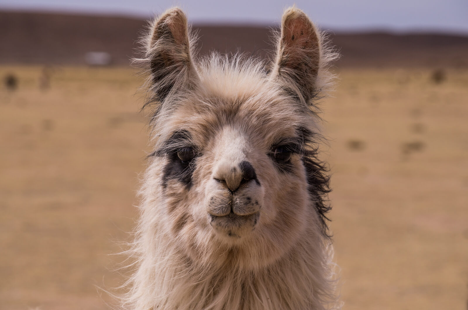 An awesomely cute alpaca