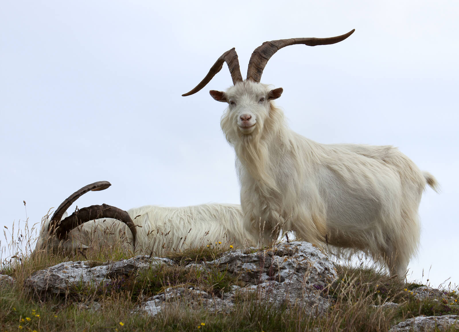 Cashmere goats in Wales, UK