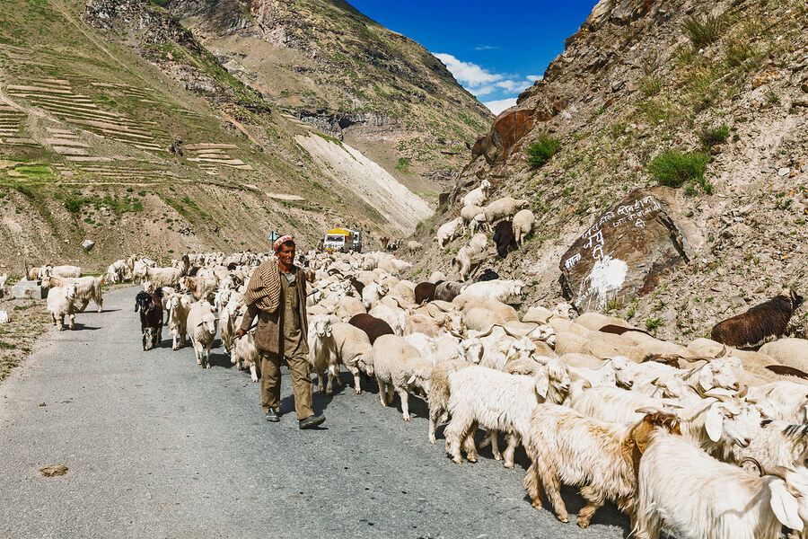 Cashmere Goats, and sheep in the Kashmir region of India