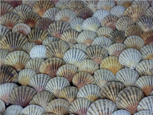 Scallop Sea Shells